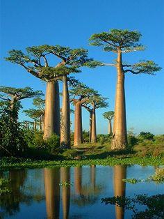 物語「星の王子さま」にも出てくる不思議な木、バオバブ。マダガスカルのバオバブ街道の画像を集めました。