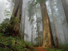 Glorious shot of the Redwood Forest Redwood Forest, Direction, Nature Wallpaper, Yahoo Images, Evergreen, Mists, Image Search, Nature Photography, Bonito