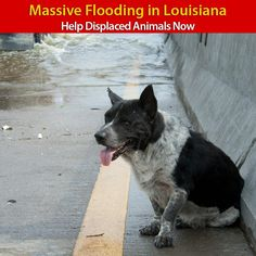 Massive+Flooding+in+Louisiana+-+Help+Displaced+Animals+Now+at+The+Animal+Rescue+Site.  Please consider a donation to help.