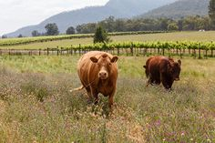 We met these two guys on location at Krinklewood Vineyard recently. Aren't they sweet? Photography Ken Brass.