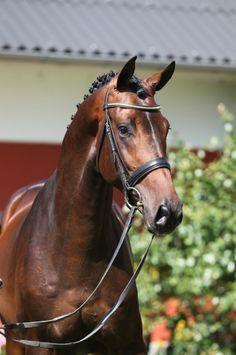 Blue Hors Erlando  「Jazz x Waydie」  Dutch Warmblood Stallion