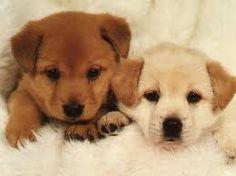 Resultado de imagen de perritos monos cachorros