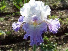 World of Irises: TALL BEARDED IRIS, OLDIES, DYKES MEDAL WINNERS BEFORE 1985