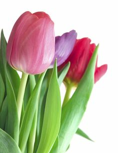 Fresh cut tulip info.  Refrig ~ 40 degrees.  NO fruits or veggies in withe the flowers.  Leaves are important for life but allow bacteria to grow if below the waterline...