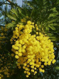 Mimosa - Auguri nella giornata dell'8 marzo a tutte le donne!