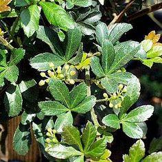 Cissus striataatSan Marcos Growers