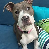 Dallas, Georgia - American Pit Bull Terrier. Meet Eve, a for adoption. http://www.adoptapet.com/pet/17382219-dallas-georgia-american-pit-bull-terrier
