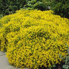 Genista lydia - 1 shrub Buy online order yours now