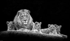Photo Lion Family by Marco Hofmann on Beautiful Lion, Animals Beautiful, Cute Animals, Lion And Lioness, Leo Lion, Black And White Lion, Lion Family, Like A Lion, Lion Tattoo