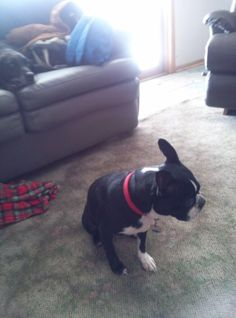 "#STOLEN #Lostdog 07-08-15 #DesMoines #IA #PolkCounty ""Sammy"" #BostonTerrier Spayed Female 4-7 Years Old 21-50 LBS Black/White Short Hair Two Brown Eyes White Marking on Belly Black Mask White Marking on Chest White Marking on Left Front Leg White Marking on Left Front Paw White Marking on Left Rear Paw White Marking on Right Front Paw White Marking on Right Rear Paw Curly Tail Nose-Black Tongue-Pink Muzzle-White Claw-Black & Natural Patch of white on the back of her neck. One nail on white…"