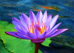 Lotus flower in the early morning. The sun's rays cast blazing orange highlights on the water surface. Beautiful Images, Beautiful Flowers, Beautiful Things, Orange Highlights, White Lotus, Magnolia Flower, Flower Pictures, Water Lilies, Feng Shui