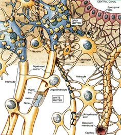 Glial cells in the brain Brain Anatomy, Medical Anatomy, Human Anatomy And Physiology, Body Anatomy, Brain Science, Medical Science, Life Science, Science Education, Computer Science