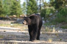 Black Bear   Bear Legend