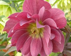 Helleborus x hybridus Kingston Cardinal   Ht. 40cm. Z4. A selection originally made at Heronswood Nursery. This is a fantastic double raspberry red. Stems and buds emerge from the ground a rich red enhancing the late winter show.We cannot ship this plant into the U.S.A.