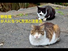 【衝撃】 野良猫が人になつく方法と注意点