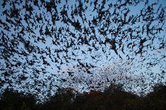 """1. Os beija-flores podem voar para trás. 2. Algumas aranhas podem crescer mais em áreas urbanas. 3. As cigarras se expandem e contraem seus exoesqueletos para produzir seu canto barulhento. 4. Quando as lagartas entram em metamorfose, elas digerem a si mesmas em uma """"sopa"""", e então se transformam em borboleta. 5. A maior colônia de morcegos do mundo fica em Bracken Cave, Texas, onde acredita-se haver 20 milhões de morcegos."""