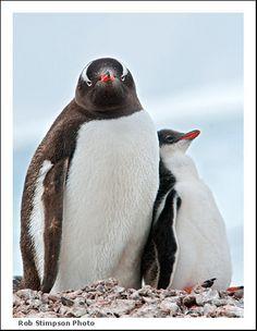 Antarctic Gentoo penguin with chick