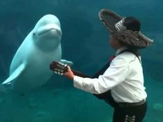 Mariachi in Connecticut performing for a beluga whale at Mystic Aquarium, where they were performing during a wedding.  This is the cutest thing I've ever seen.  Period.  The end.