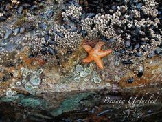 a lone starfish in a sea of mussells  award-winning photography by Beauty Unfurled www.beautyunfurled.com