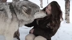 White Wolf : Giant Gray Wolf Greets Woman With Kisses And Cuddles in Colorado.