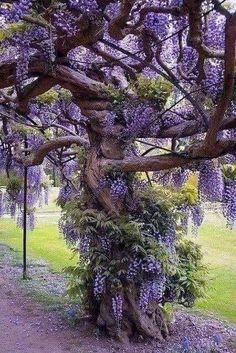 Beautiful Landscapes, Beautiful Gardens, Beautiful Flowers, Beautiful Places, Beautiful Pictures, Wisteria Tree, Wisteria Garden, Wisteria Wedding, Purple Wisteria