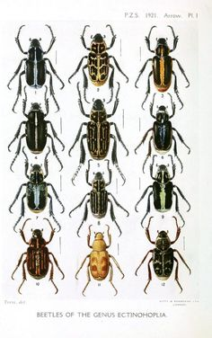 Animal - Insect - Beetles - Educational plate