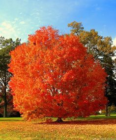 [Visit to Buy] True Japanese Red Maple Tree Seeds, Professional Pack, 10 Seeds / Pack, Ornamental Garden Tree Red Maple Tree, Red Tree, Unique Trees, Colorful Trees, Autumn Scenery, Autumn Trees, Autumn Leaves, Garden Trees, Trees To Plant