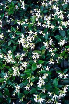 10. Star Jasmine   The versaitility of Star Jasmine makes it an unkillable winner – ground cover, climber,...