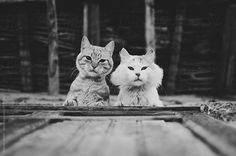 Black and white portrait of two (2) adorable and curious cats looking down through the window by Srdjan Kirtic