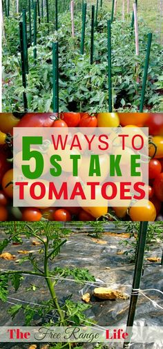 Did you know there are more ways than just a tomato cage to stake your tomatoes? Read about 5 ways to stake tomatoes to keep them off the ground, healthy, and producing tons of fruit! Staking Tomato Plants, Growing Tomato Plants, Growing Tomatoes In Containers, Growing Veggies, Grow Tomatoes, Tomato Pruning, Tomato Growers, Veg Garden, Tomato Garden