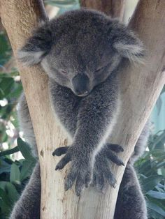 """""""Stuck"""", a photo from Western Australia, West Cute Funny Animals, Cute Baby Animals, Animals And Pets, Wild Animals, Koala Marsupial, The Wombats, Baby Koala, Baby Otters, Australia Animals"""