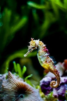 Beautiful seahorse. Seahorses are mainly found in shallow tropical and temperate waters throughout the world, and live in sheltered areas such as seagrass beds, estuaries, coral reefs, or mangroves. Colonies have been found in European waters such as the Thames Estuary.