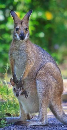 Kangaroo & joey - Nature Blogger