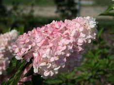 Rispenhortensie 'Vanille-Fraise' ® - Hydrangea paniculata 'Vanille-Fraise' ®