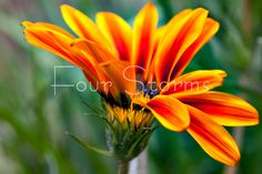 Sheer Metal Infused Print 4x6 Orange and Yellow flower by fourstorms, $25.00