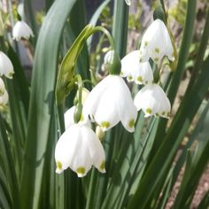 Snowflakes are a great follow on from snowdrops and the flowers last ages. Love them.