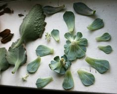 Propagating houseplants from leaf cuttings.