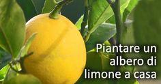 Come piantare un albero di limone in vaso, a casa. Tutto il necessario per far crescere un limone nel tuo salotto di casa.