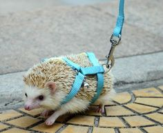 NEW Adjustable hedgehog Harness for Training Playing traction rope High Quality Free Shipping