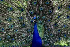 Beautiful vibrant blue peacock. Photo by Deanna Mullins.  birdsandblooms.com
