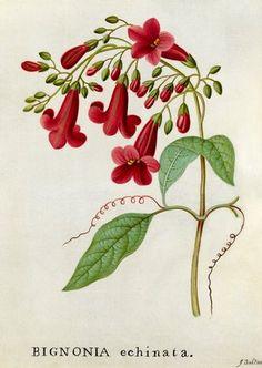 James Bolton -- 'Bignonia echinata, Hedge-hog Trumpet Flower' -- James Bolton -- Artists -- RHS Prints