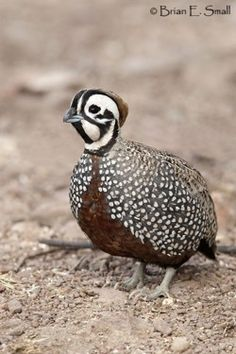The Montezuma Quail is also known as Mearns's Quail, the Harlequin Quail (for the male's striking pattern), and the Fool Quail (for its behavior).   (photo by brian e. small)