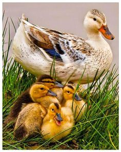 Pretty Silver Appleyard duck and ducklings. Originally, this breed was created as a dual-purpose domestic duck, reared both for meat and for eggs. Pretty Birds, Love Birds, Beautiful Birds, Animals Beautiful, Beautiful Family, Beautiful Soul, Farm Animals, Animals And Pets, Cute Animals