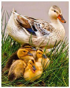 """@denise_bourassa: Première sortie de famille... "" Pretty Birds, Beautiful Birds, Animals Beautiful, Beautiful Family, Beautiful Soul, Cute Baby Animals, Farm Animals, Animals And Pets, Duck And Ducklings"
