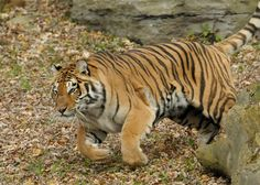 Take a walk on the wild side at Bowmanville Zoo. It's Canada's oldest private zoo, established in There's so much to explore at the Bowmanville Zoo, but here's what makes this zoo really cool! Zoos, June, The Zoo