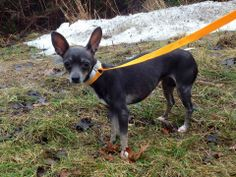 SAFE --- URGENT - Staten Island Center   CHOCOLATE - A0989265   FEMALE, CHOCOLATE / WHITE, CHIHUAHUA SH MIX, 3 yrs  OWNER SUR - EVALUATE, NO HOLD Reason MOVE2PRIVA   Intake condition NONE Intake Date 01/10/2014, From NY 10304, DueOut Date 01/10/2014 MAIN THREAD: https://www.facebook.com/photo.php?fbid=740477219298493&set=a.617941078218775.1073741869.152876678058553&type=3&theater   -------VERY SCARED at shelter-----