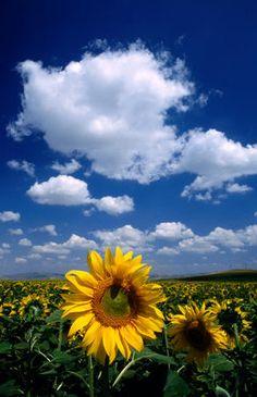 Sunflowers, Turkey  Sunflowers in Anatolia.