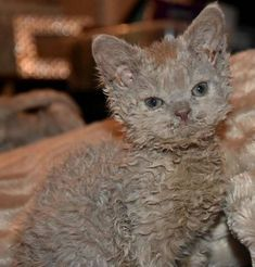 T selkirk rex cat Selkirk Rex, I Love Cats, Crazy Cats, Cute Cats, Cute Baby Animals, Animals And Pets, Funny Animals, Bulldog Breeds, Cat Breeds