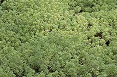 Sedum Gracile covering the soil