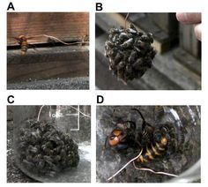 Japanese honey bees have a unique defense against the giant Japanese hornet. They engulf it in a ball and vibrate so quickly that they effectively cook their enemy. (http://en.wikipedia.org/wiki/Asian_giant_hornet#Native_honey_bees)